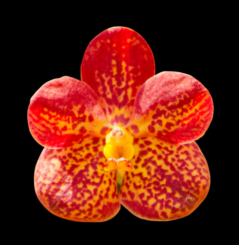 Orchid isolated on black background.  stock photos