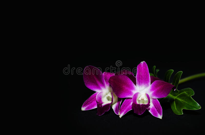 Orchid isolated on black background. With reflection royalty free stock image