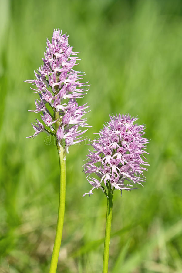 Download Orchid italic stock photo. Image of orchidaceae, orchis - 24637988