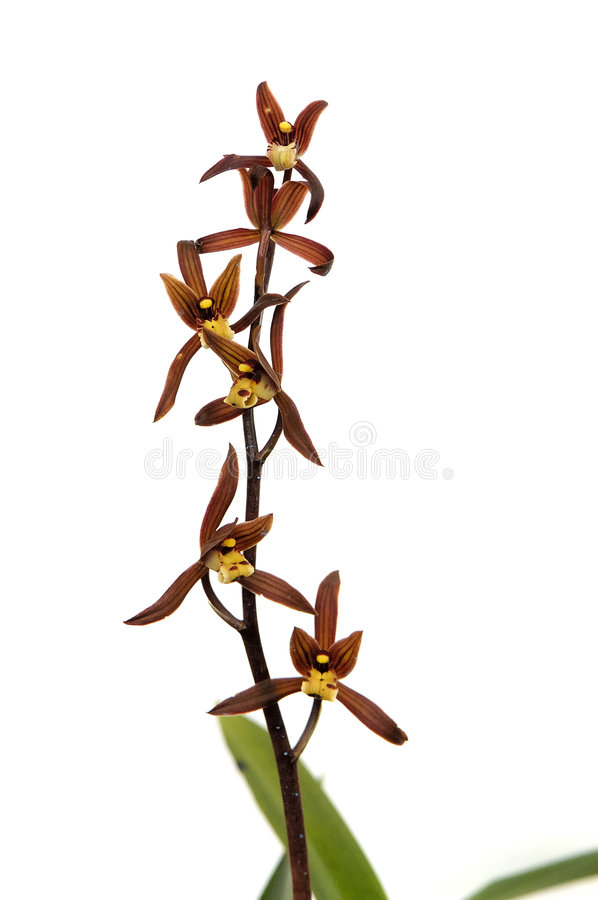 Orchid 'Jin Hua Shan' stock photo