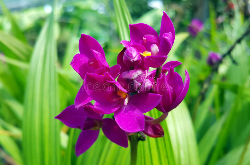 Orchid. Kinda of purple color orchid species royalty free stock images