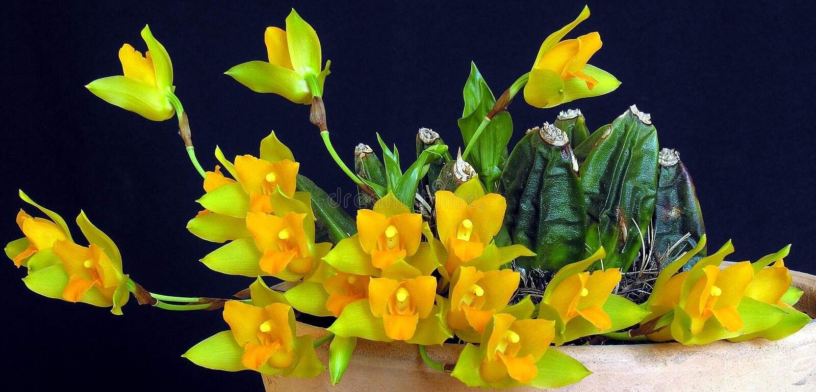 Orchid: Lycaste cochleata. Orchid specie from Honduras, Central America. Scented flowers stock photo