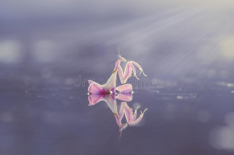 Orchid mantis, animals, macro, bokeh, insect, nature, royalty free stock photo
