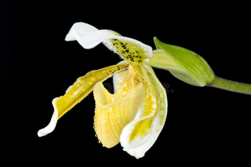Orchid, Mini Lady-slipper Stock Photography