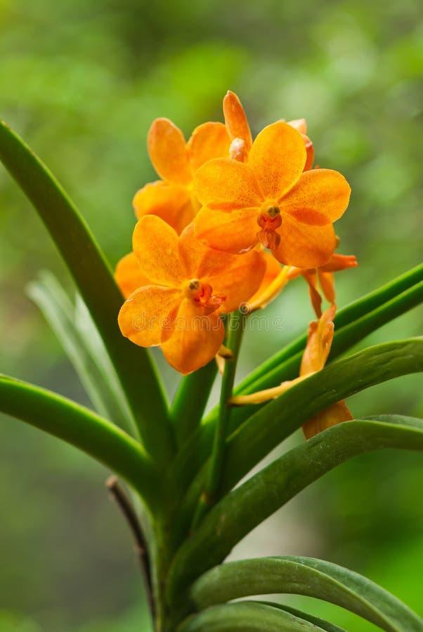 Orchid Miniatum Ascocentrum, πορτοκάλι στοκ εικόνες με δικαίωμα ελεύθερης χρήσης