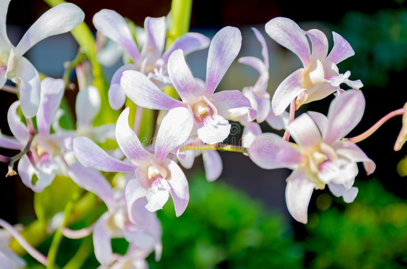 The orchid motley a grade a beautiful flower of in Sri Lanka. The orchid motley grade a beautiful flower of in Sri Lanka stock photos