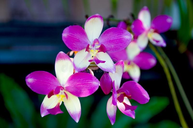 The orchid motley a grade a beautiful flower of in Sri Lanka. The orchid motley grade a beautiful flower of in Sri Lanka royalty free stock photography