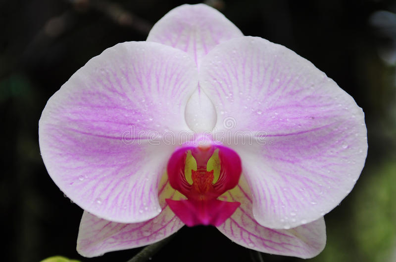 Orchid from North Thailand stock photography