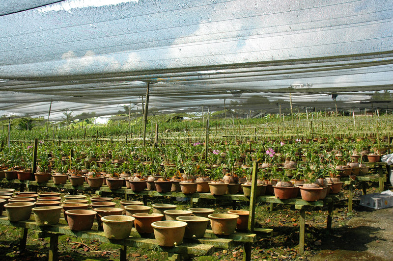 Orchid nursery. Orchid flower nursery or farm out door royalty free stock photo