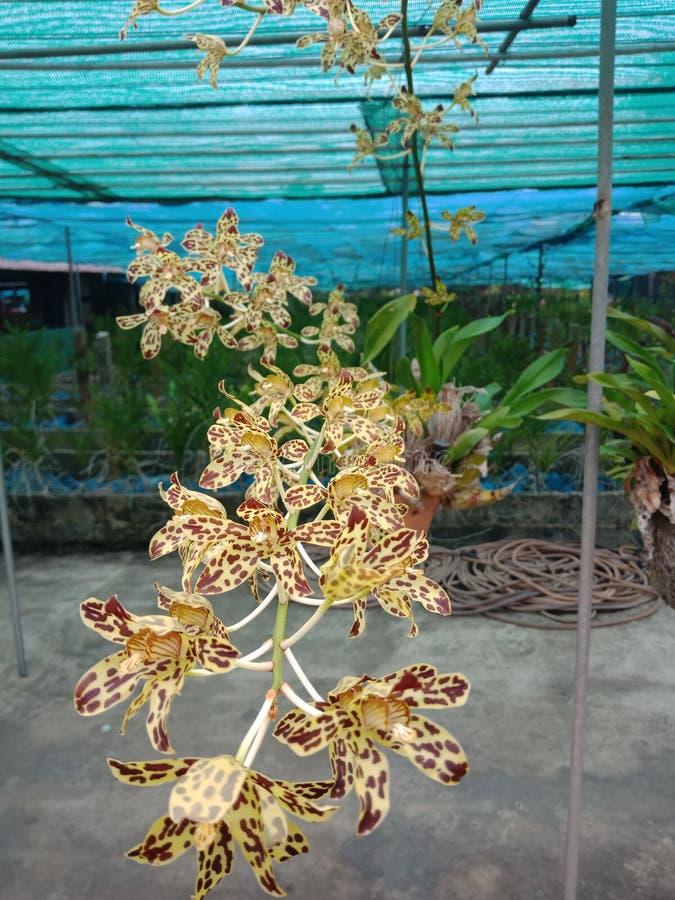 Orchid2, om vi hör denna orkidé Känselskräck majoriteten med namnet Modellen är liknande till det av en tiger arkivfoto