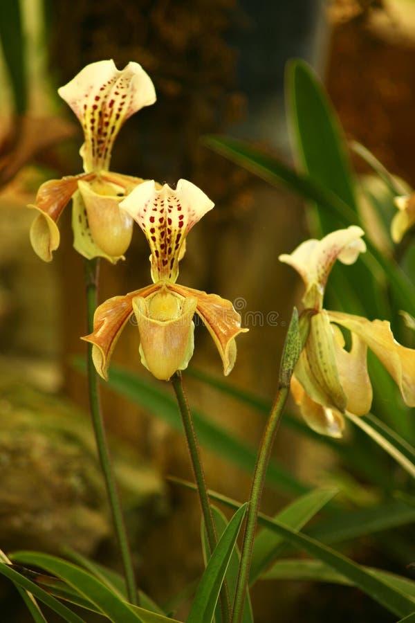 orchid paphiopedilum κίτρινο στοκ εικόνες με δικαίωμα ελεύθερης χρήσης