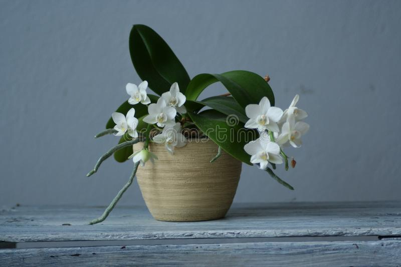 Orchid Phalaenopsis. A brilliant composition stock image