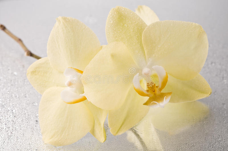 Download Orchid Phalaenopsis Flower Royalty Free Stock Photos - Image: 33343998