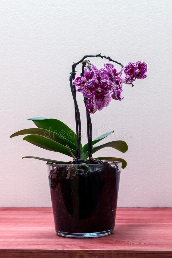 Orchid phalaenopsis in a glass pot on a wooden table royalty free stock photo