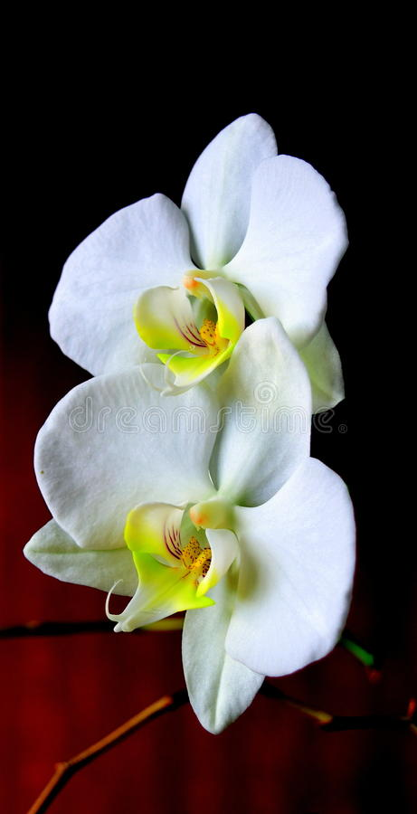 Orchid Phalaenopsis (Moth orchid). A white Moth Orchid (Palaenopsis) set against a dark red background royalty free stock photography