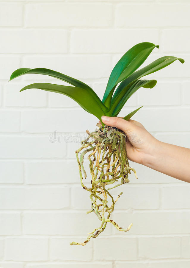 Orchid phalaenopsis planting, soil, root and moss. On wooden background royalty free stock photo