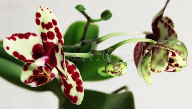 Orchid phalaenopsis royalty free stock photography