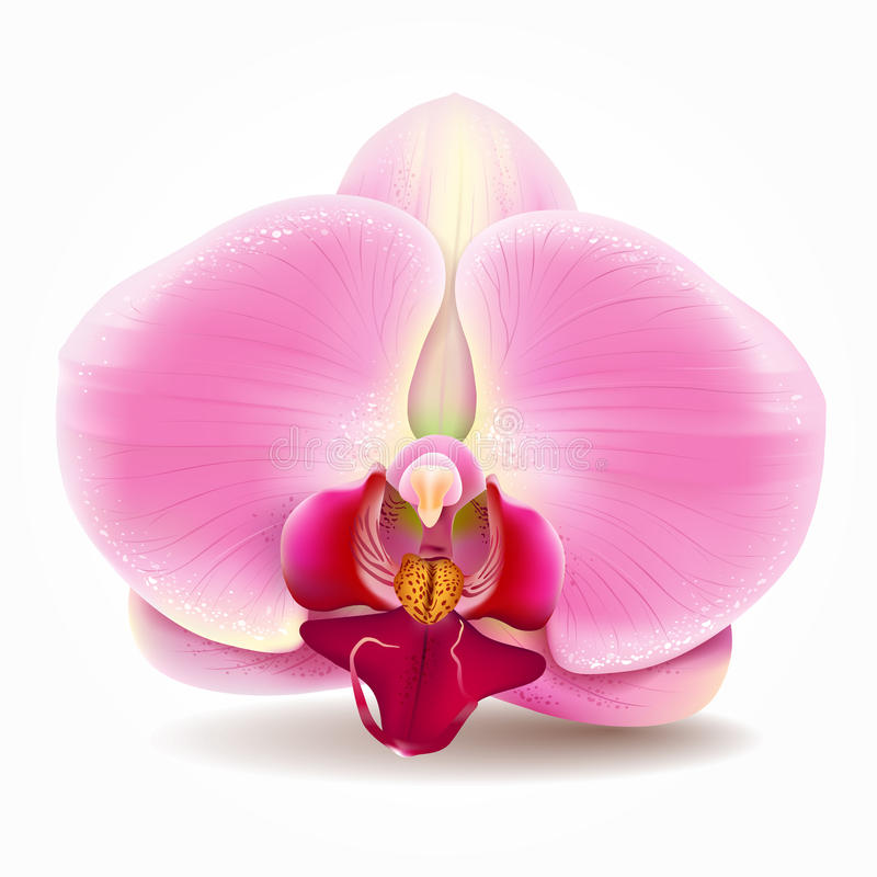 Orchid pink vector illustration