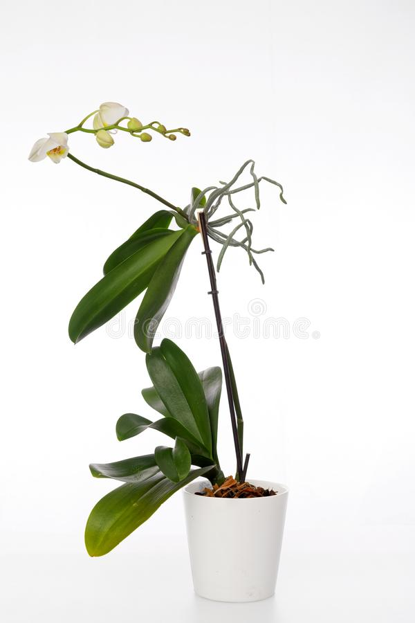 Orchid plant and erial roots on a white background royalty free stock images