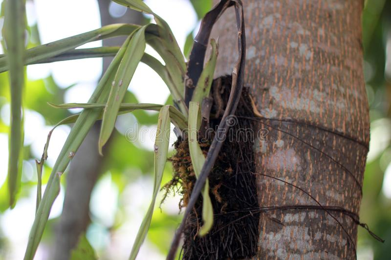 Orchid plant leaf dead withered tied in a tree royalty free stock photography