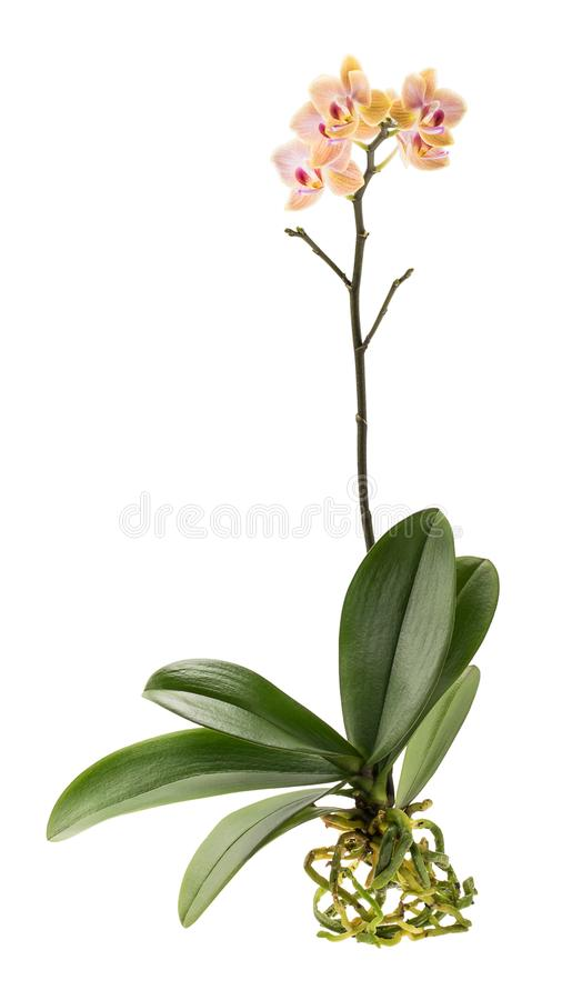 Orchid plant with leaves and roots royalty free stock photography