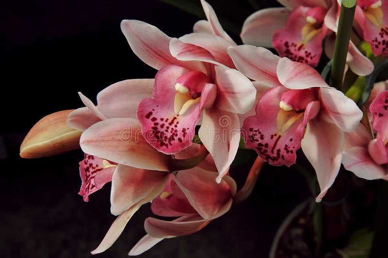 Orchid Plant royalty free stock photo