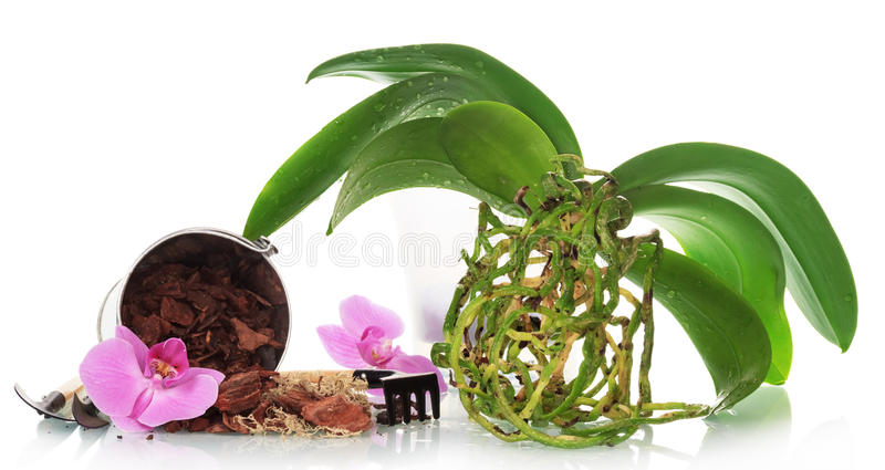 Orchid plant without pot stock image
