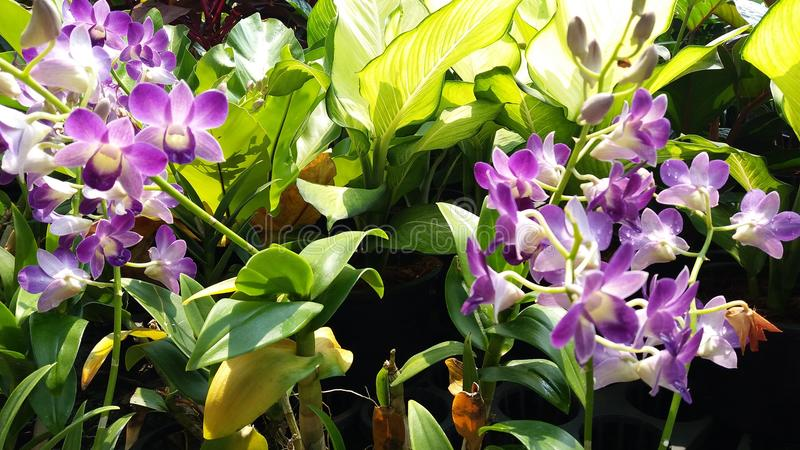 Orchid plantae rhynchostylis gigantea orchidaceae royalty free stock images