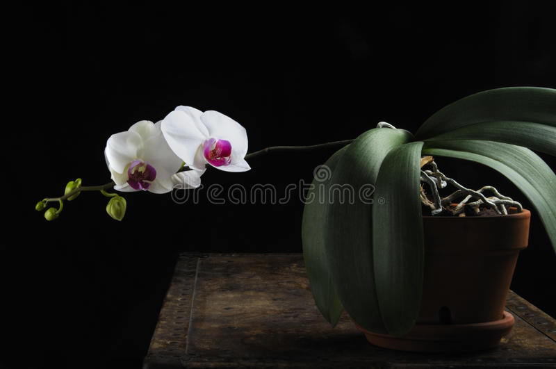 Download Orchid in pot stock photo. Image of rustic, flower, chest - 18912408