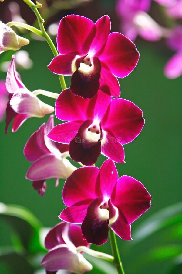orchid purple στοκ φωτογραφία με δικαίωμα ελεύθερης χρήσης