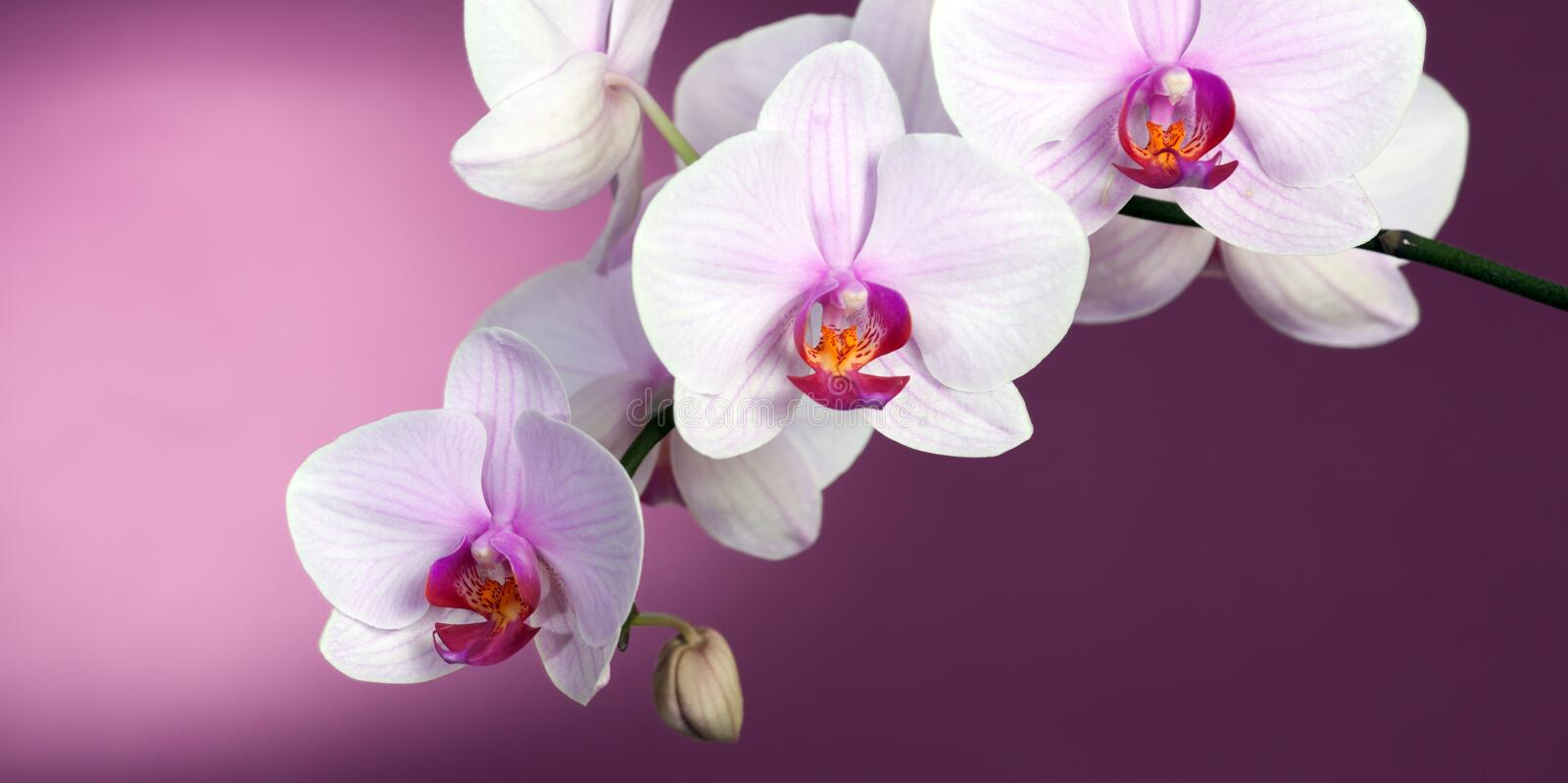 Orchid on purple royalty free stock photos