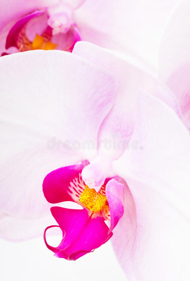 Orchid radiant royalty free stock images