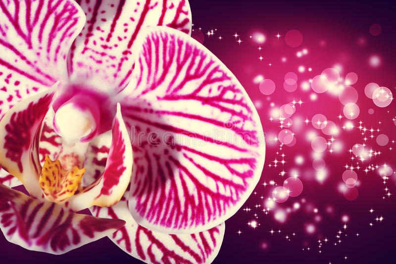 Orchid on shiny magenta background stock images