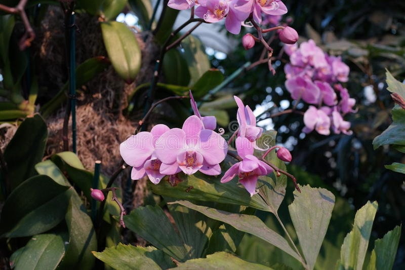 The 2016 Orchid Show 69. More thrilling than ever, the 14th annual Orchid Show transports visitors on a journey through orchid collecting history, each moment stock photos