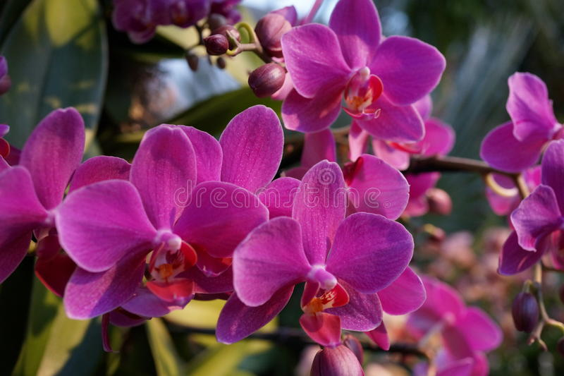 The 2016 Orchid Show 95. More thrilling than ever, the 14th annual Orchid Show transports visitors on a journey through orchid collecting history, each moment stock image