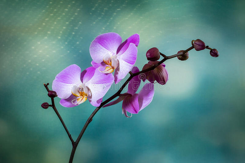 Download Orchid stock image. Image of spurs, rostellum, life, caudicle - 43346769