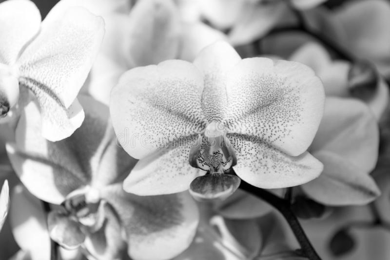 Orchid. tender lilac and white orchid flower. purple orchid background. spring and summer flowers. gardening. floral royalty free stock images