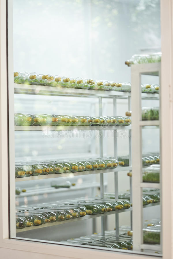 Orchid tissue culture growing in a bottle. Orchid tissue culture growing in a bottle on shelf in room stock photography