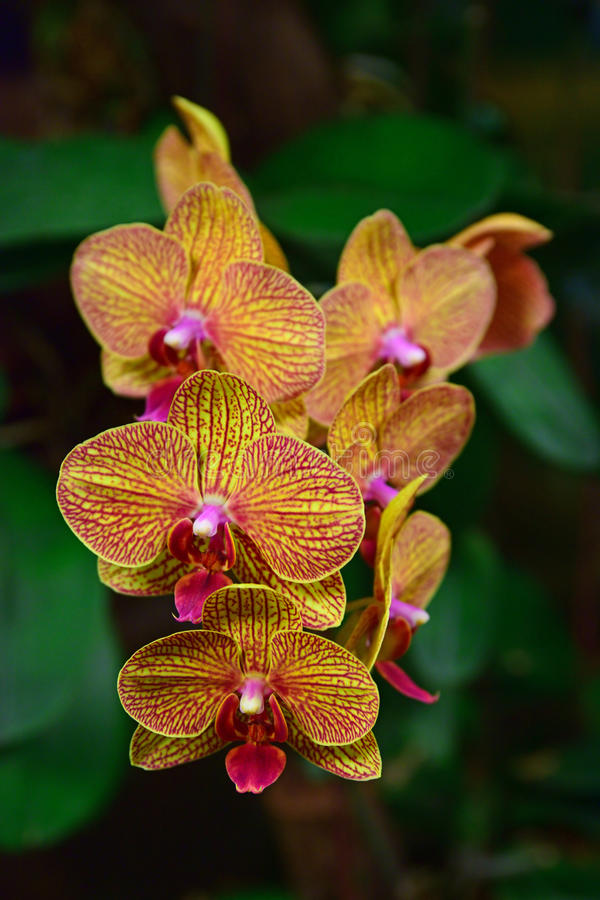 Orchid Type Phalaenopsis Baldans Kaleidoscope Golden Treasure. Is an artificial orchid hybrid. One of the seedlings from this grex was awarded an Award of Merit stock photos