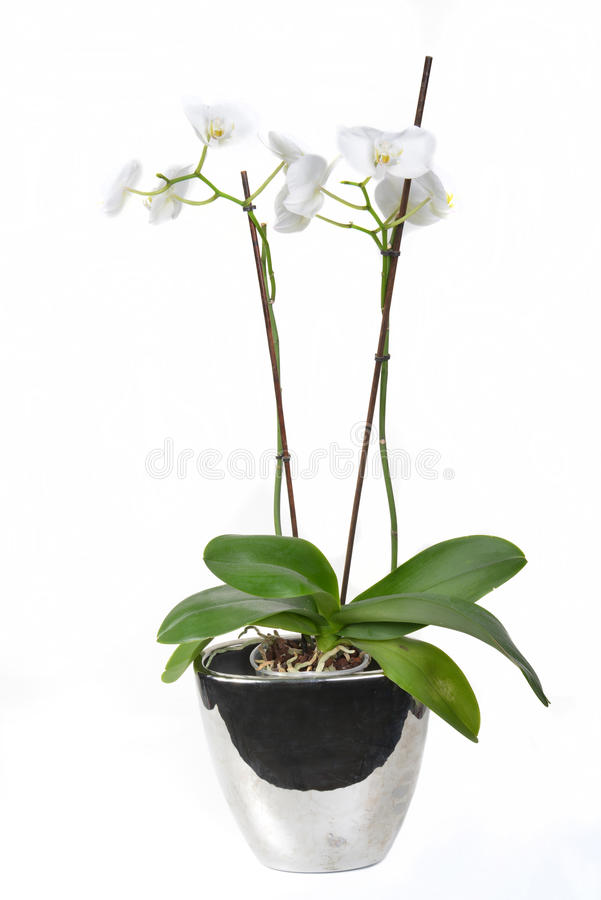 Download Orchid in a vase stock image. Image of beads, arrangement - 29593639