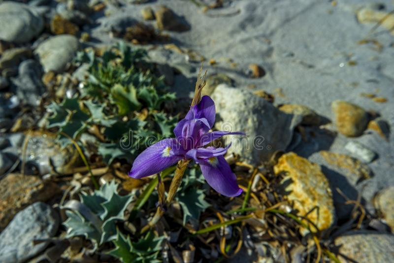 Orchid violet sand, Isuledda Beach, San Teodoro, Sardinia, Italy. stock image