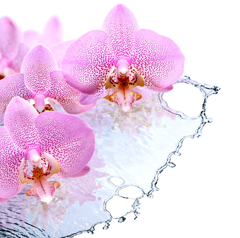 White Orchid Water Pink: Orchid And Water Stock Photo. Image Of Blooming, Health