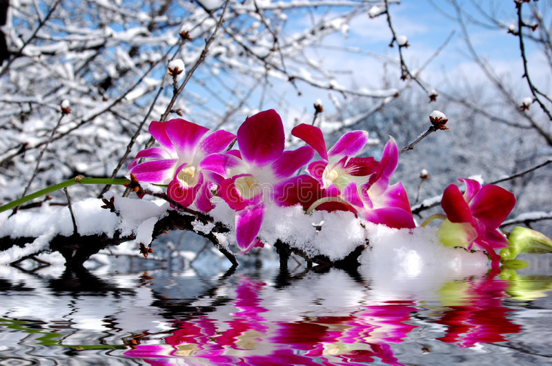 Orchid and water reflection royalty free stock photos