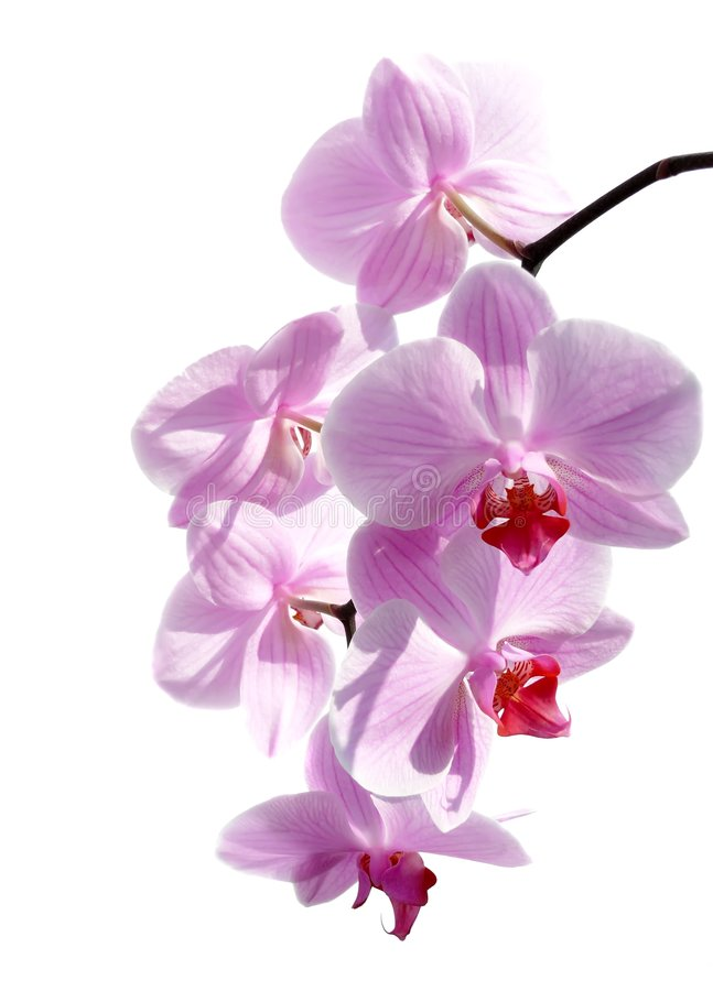Orchid on white stock photo