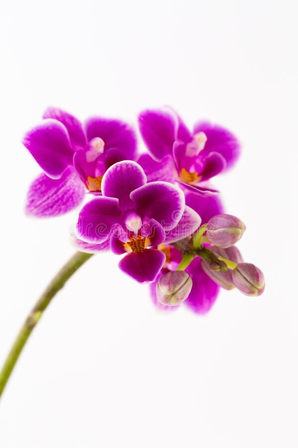 Beauty orchid on a white background royalty free stock images