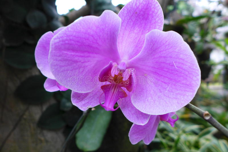 THE ORCHID. The WHITE ORCHID IS A BEAUTIFUL FLOWER FROM INDONESIA ESPECIALLY WEST PAPUA royalty free stock photography