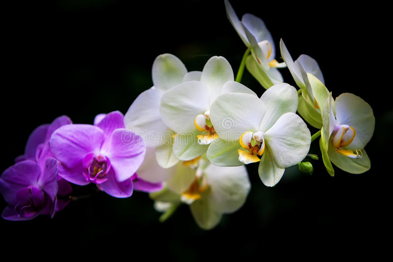 Download Orchid Royalty Free Stock Images - Image: 30424959