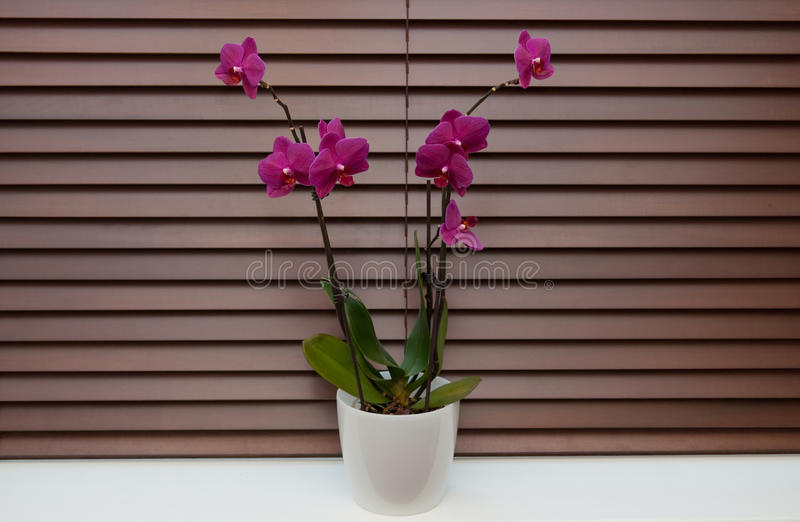Orchid On A Window Royalty Free Stock Photography