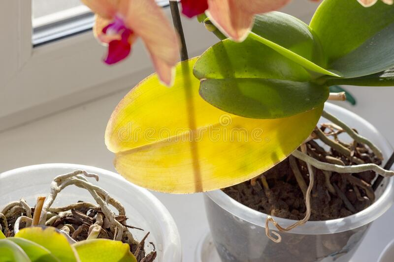 Orchid on the windowsill stock image