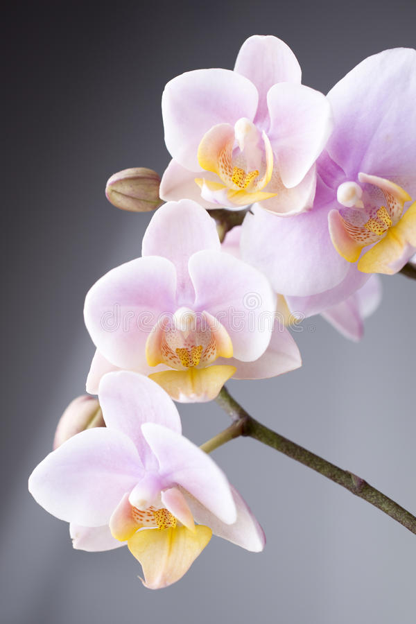 Orchid. Orchid on a wooden surface. Studio photography stock photo